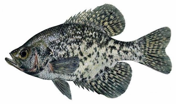 Where is your crappie
