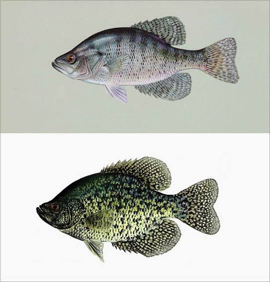 know your crappie